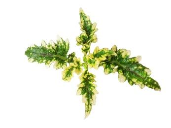 Lemon och Lime Palettblad/Coleus