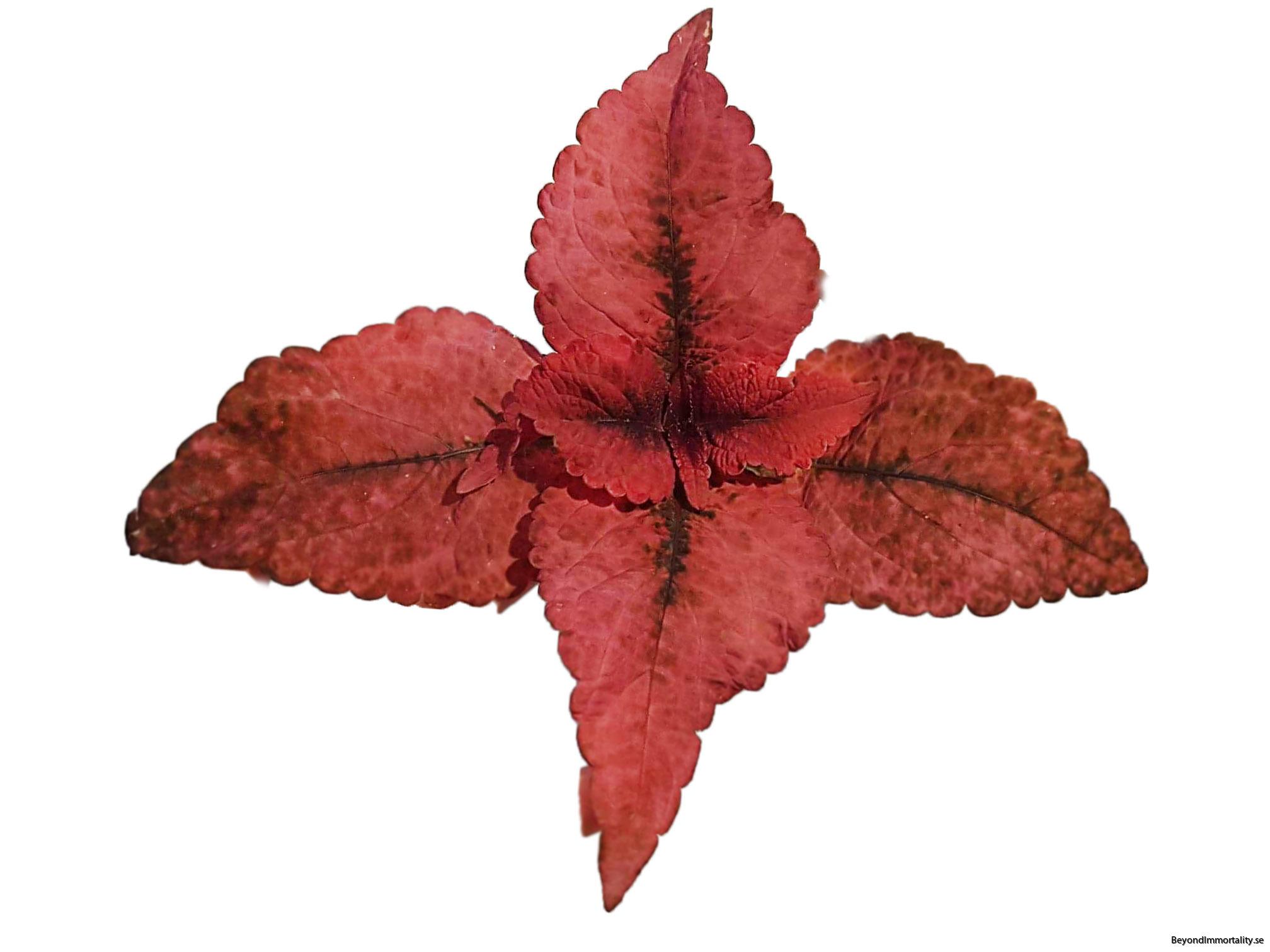 mariposa coleus palettblad
