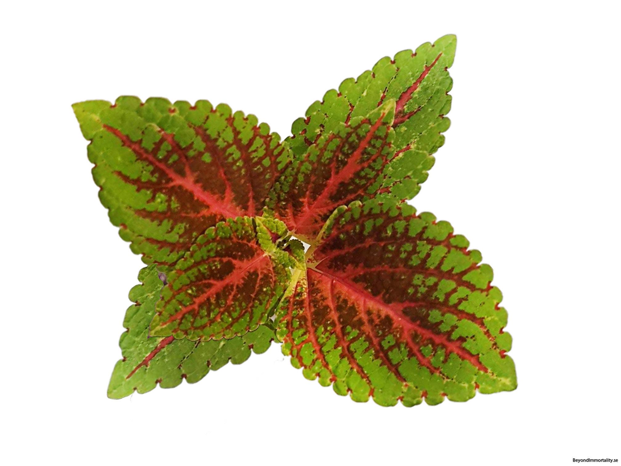 winsome palettblad coleus