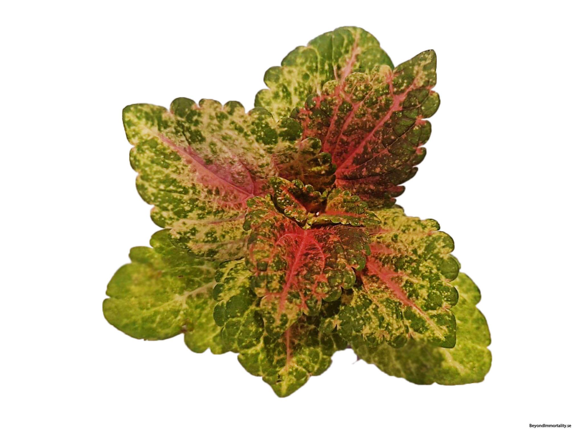 shocking pink coleus palettblad