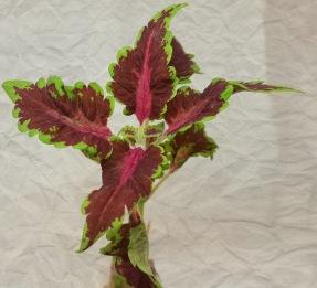 Songbird Palettblad Coleus