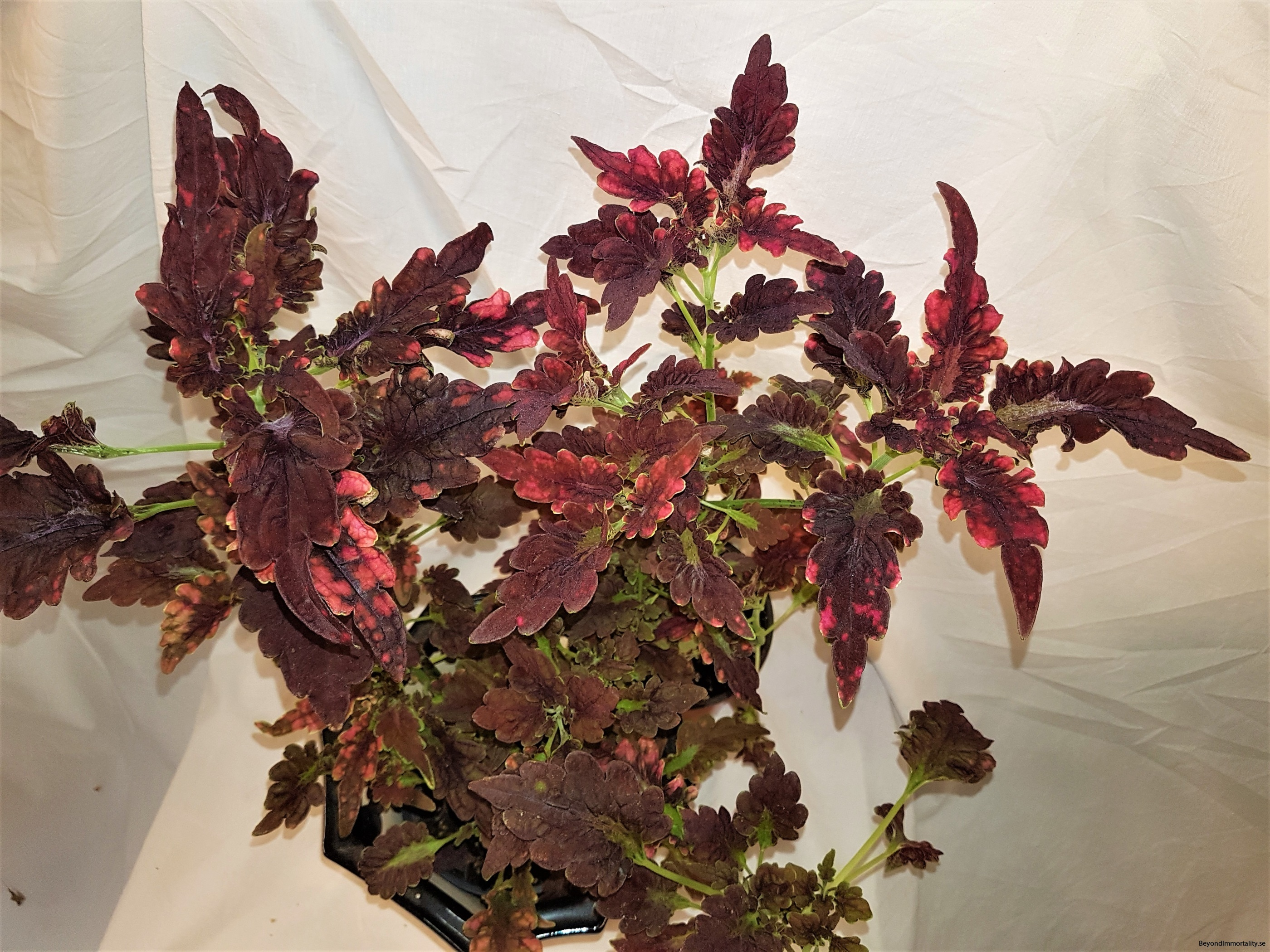 black beauty palettblad coleus