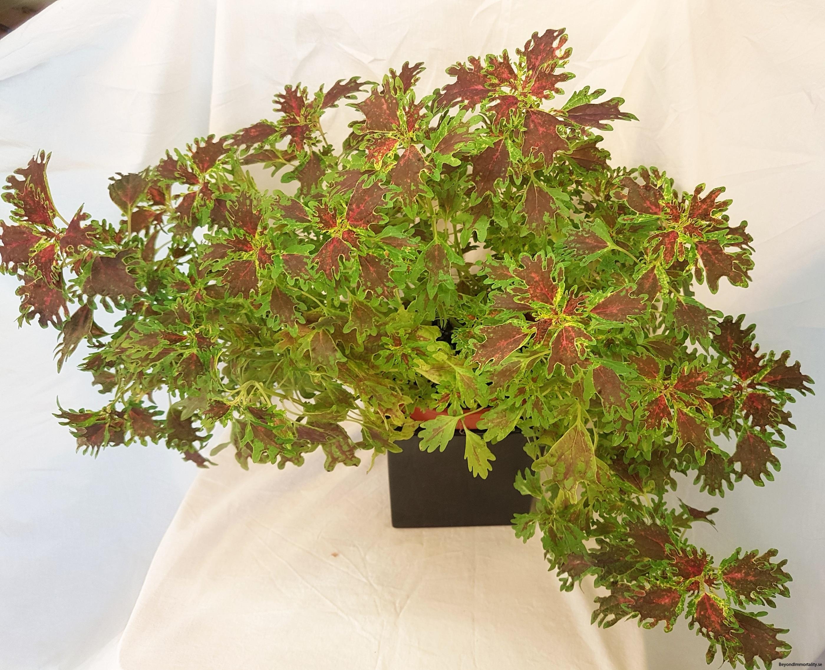 india frills palettblad coleus