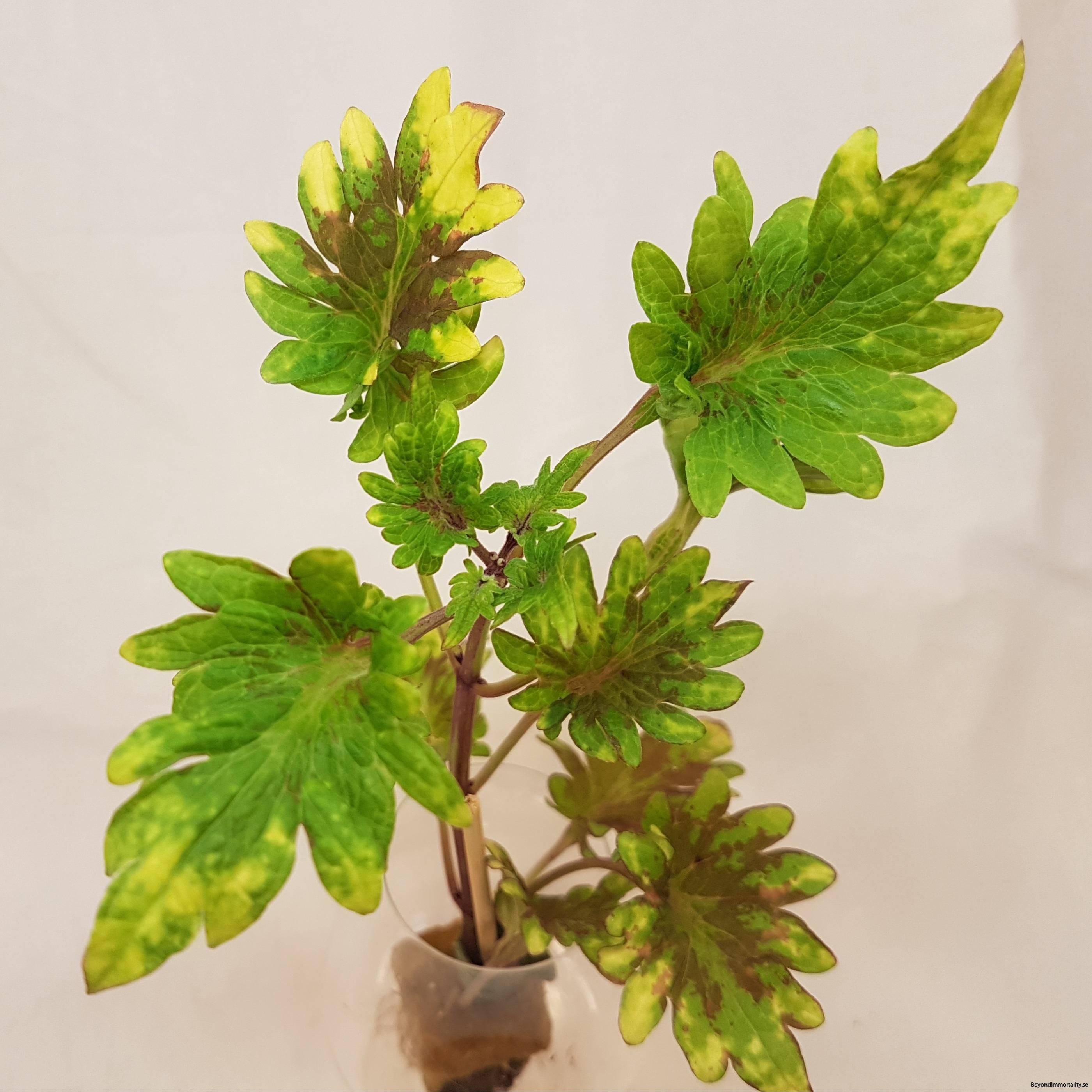 kingswood karnival palettblad coleus