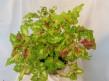 Lemon Chiffon Coleus/Palettblad