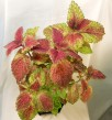 Shocking Pink coleus/palettblad