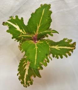 Coleen palettblad coleus