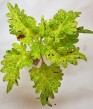 Pinapplett coleus Palettblad