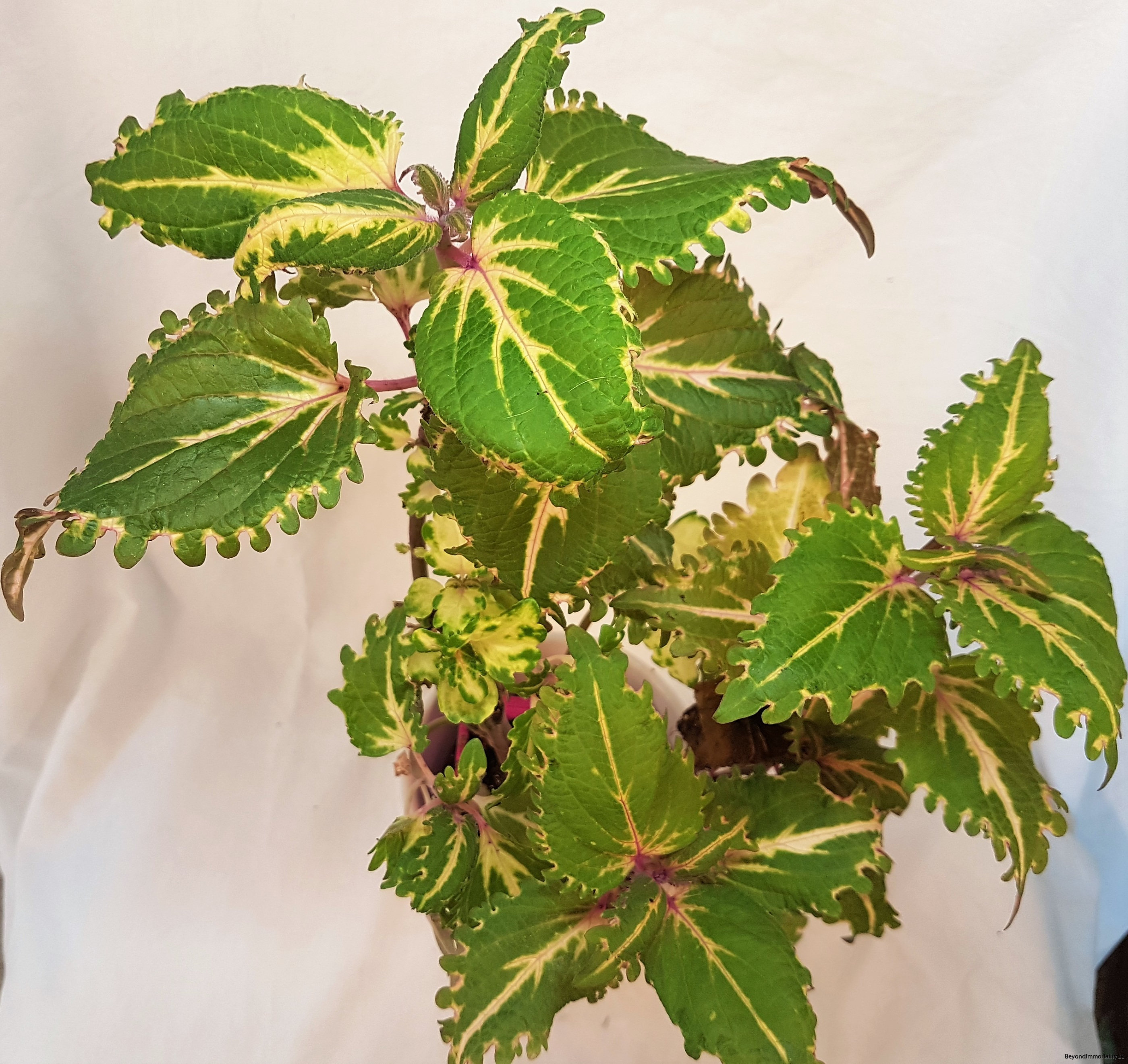 coleen stor palettblad coleus
