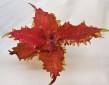 Chewy Peach palettblad coleus