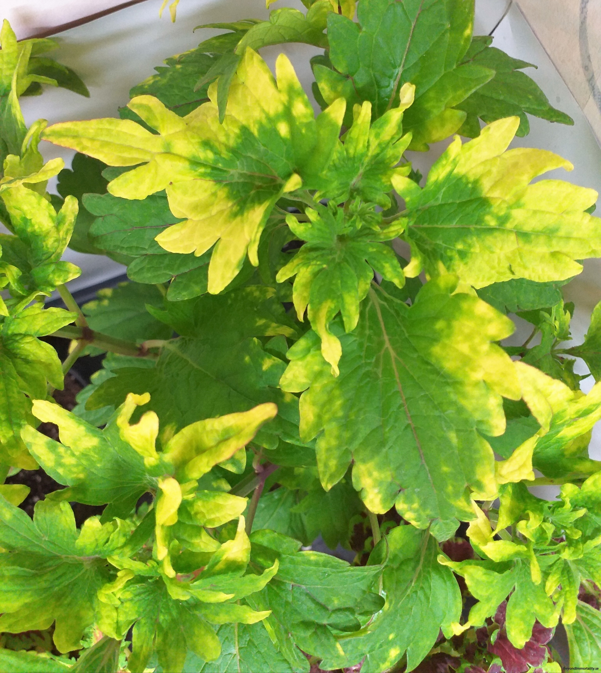 Gold Twist stor palettblad coleus
