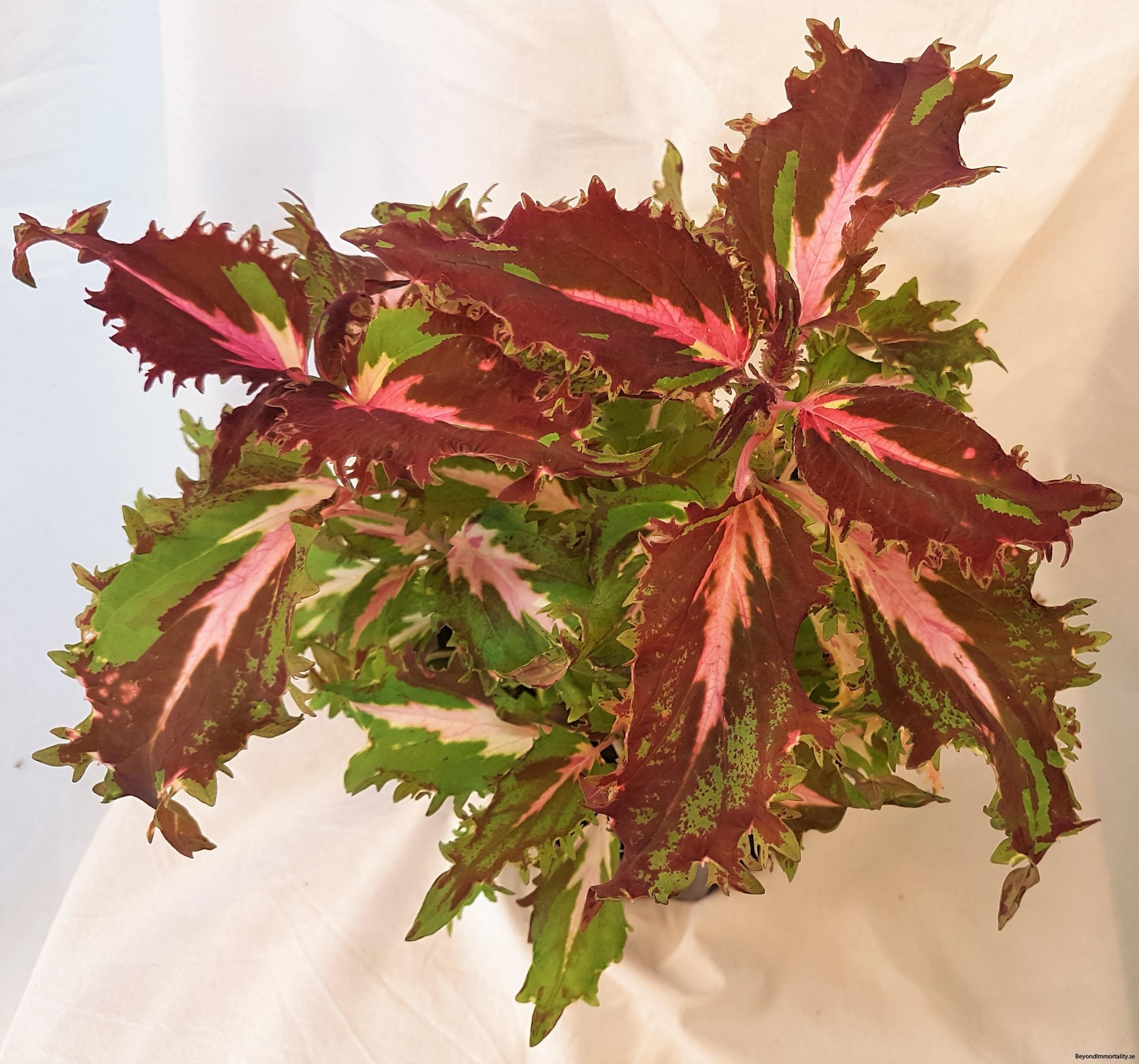 dazzler stor palettblad coleus