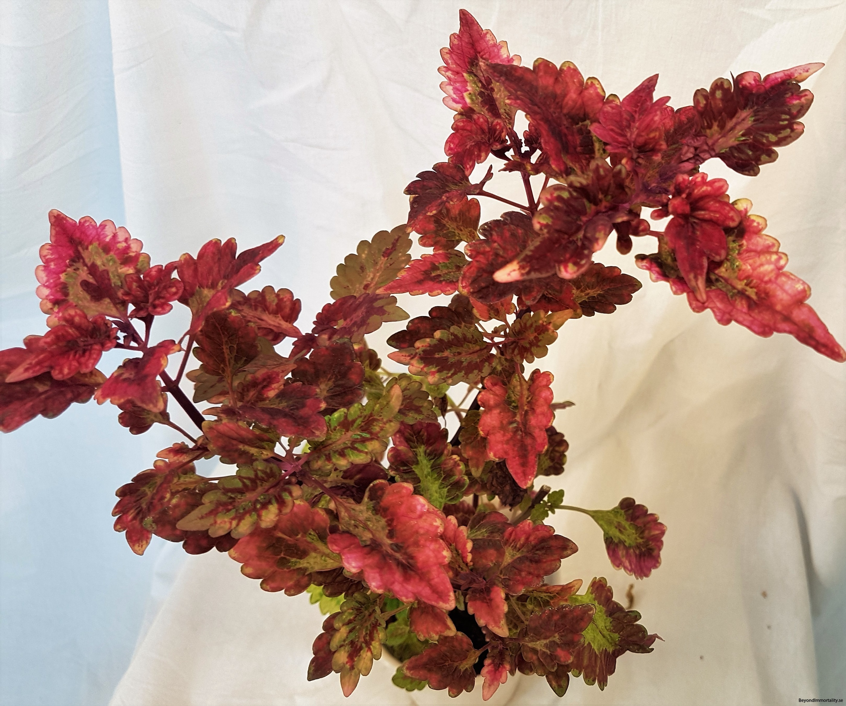 redwhitch stor palettblad coleus