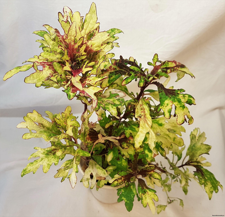 augsburg storpalettblad coleus (2)
