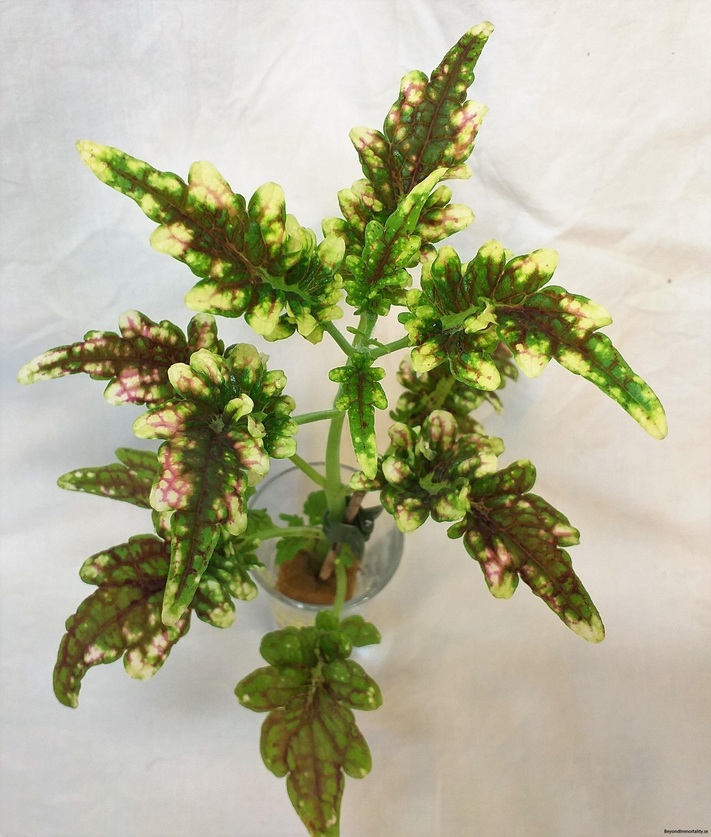 gilda palettblad coleus