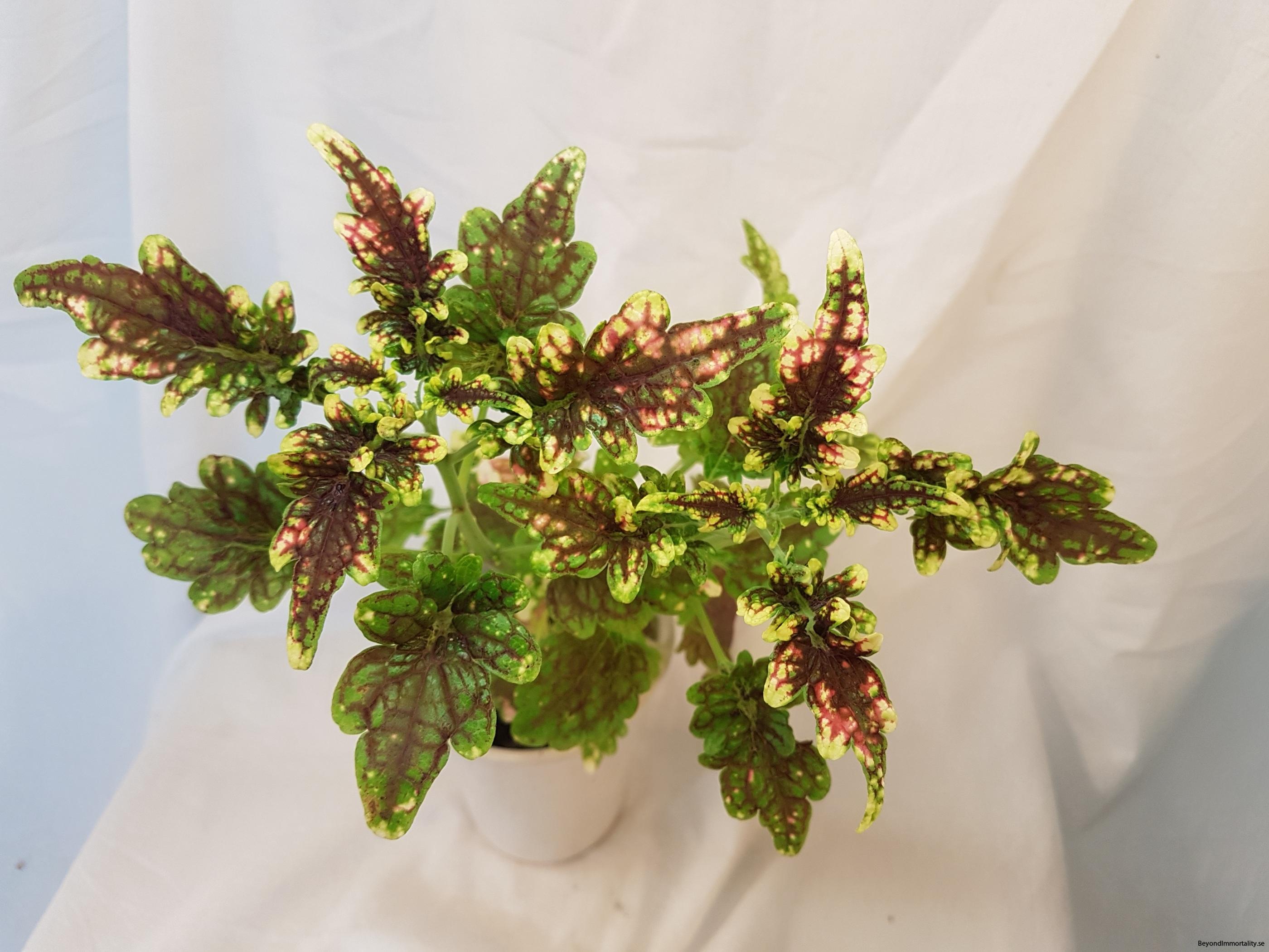 gilda stor palettblad coleus
