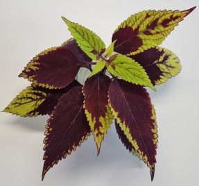 Pineapple Beauty Palettblad/Coleus