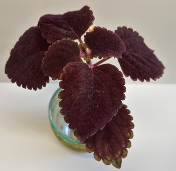 Garnet Robe Palettblad/coleus
