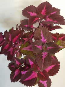 China Rose Palettblad Coleus