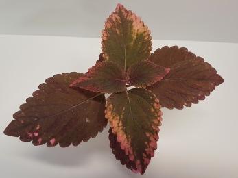 Inky Pink Palettblad Coleus
