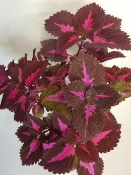 China Rose Palettblad Coleus