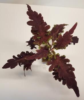 Beaujolais nouveau palettblad coleus
