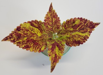 City of Sunderland Palettblad/Coleus
