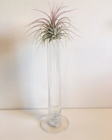 Air Plants Vas med Air Plant