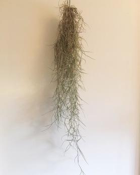 Air Plant Usneoides