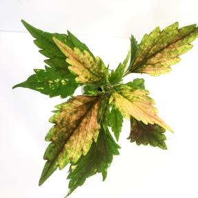 Aluston palettblad coleus