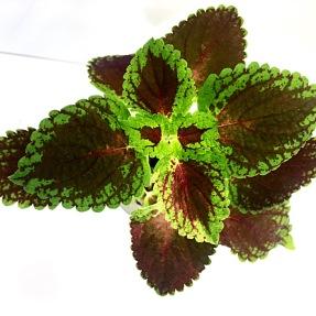 Odalisque palettblad coleus