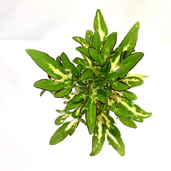 Sparkler palettblad coleus