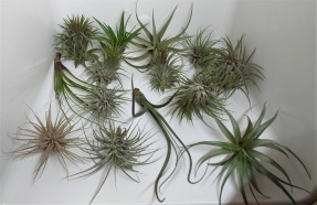 Air Plants 4-pack