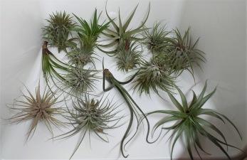 Air Plants 4-pack
