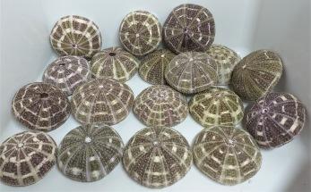 Sea Urchin Skal 2-pack