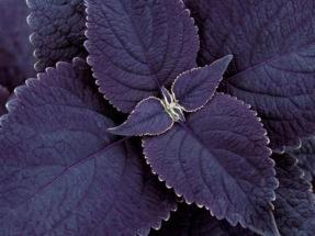 Black Prince pluggplanta