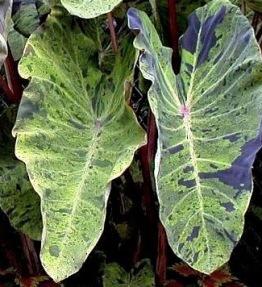 Colocasia Mojito knöl