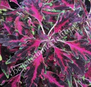 Black Cherry Ribbons