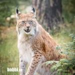 Junsele djurpark - Lodjur 3