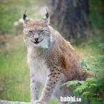 Junsele djurpark - Lodjur 1