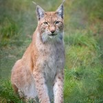 Junsele djurpark - Lodjur 4