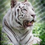 Junsele djurpark - Vit tiger 1