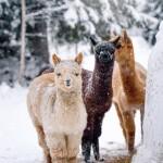 Alpackor, vita Snöboll