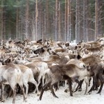 1200 renar i hägn