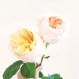 David Austin wedding rose Juliette