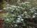 IMG_20180913_151046 Björkboda, blommande rodendendron