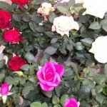 Rosor i olika färger