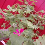 doft pelargonia concolour lace