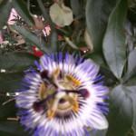 Passionblommans blommor