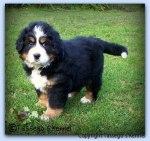 Wild as puppy